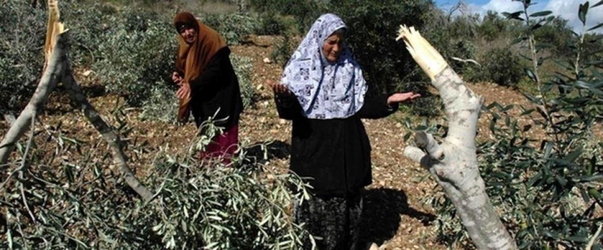 مستوطنون يقطعون نحو 300 شجرة زيتون جنوب بيت لحم